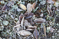 Fallen leaves covered with frost Stock Image