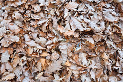 Fallen leaves covered in hoarfrost Stock Photo