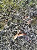 Fallen leaves covered with white frost lying on the grass Stock Images