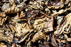 Fallen leaves decaying on the forest floor Royalty Free Stock Images