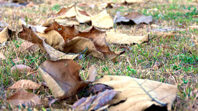 The fallen leaves During the fall Dry brown Stock Images