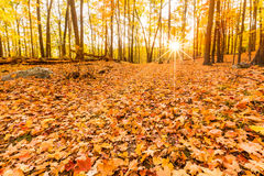 Fallen leaves and fall foliage. Lit by sunset sunbeams, shining through the forest trees, at Bear Mountain state park, New York Stock Image