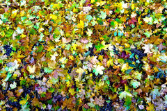 Fallen Leaves Stock Images