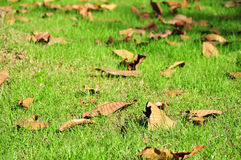 Fallen leaves. Falled leaves in grass field royalty free stock image
