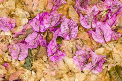 Fallen leaves and flowers of Bouganvillea Stock Photography