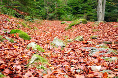 Fallen leaves in a forest. Forest path covered in fallen leaves Stock Photography