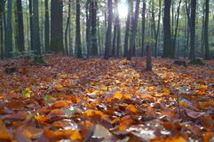 Fallen Leaves in a Forest Royalty Free Stock Photography