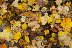 Fallen leaves in forest. Royalty Free Stock Photos