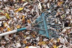 Fallen Leaves and a Garden Rake. A pile of fallen autumn maple leaves with a rake royalty free stock photography