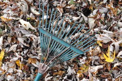 Fallen Leaves and a Garden Rake. A pile of fallen autumn maple leaves with a rake royalty free stock photos