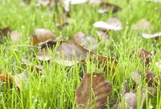 Fallen leaves on grass. Royalty Free Stock Images