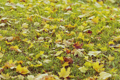 Fallen leaves on grass. royalty free stock image