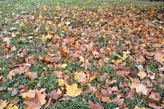 Fallen leaves on the grass in autumn Park. Stock Photos