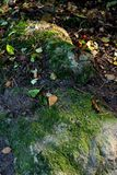 Fallen leaves on a gray stone covered with moss. Royalty Free Stock Images