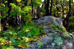 Fallen leaves on a gray stone. Royalty Free Stock Photo