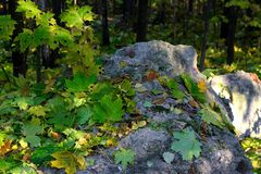 Fallen leaves on a gray stone. Royalty Free Stock Image