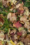 Fallen leaves in green grass in autumn.  royalty free stock image