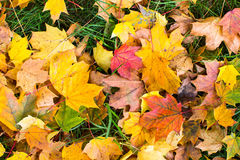 Fallen leaves on green grass Royalty Free Stock Image
