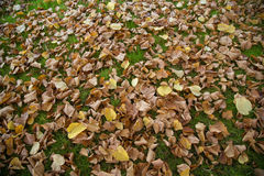 Fallen leaves on green grass Stock Images