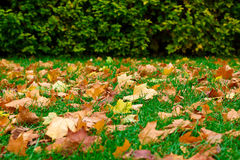 Fallen leaves on the green grass. And green hedge on background Stock Photo