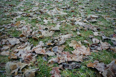Fallen leaves on the green grass in hoarfrost Stock Images