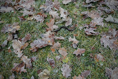 Fallen leaves on the green grass in hoarfrost Stock Image