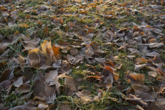 Fallen leaves on the green grass in hoarfrost Stock Photos