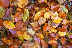 Fallen leaves on the ground. Closeup of fallen leaves on the ground in the autumn Stock Photo