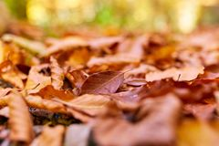 Fallen leaves on the ground. Closeup of fallen leaves on the ground in the autumn Royalty Free Stock Image