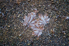 Fallen leaves covered with frost. Fallen leaves on the ground covered with frost Stock Images