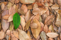 The fallen leaves Royalty Free Stock Image