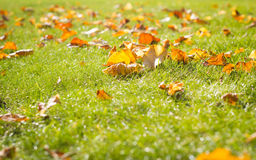 Fallen leaves on the healthy grass, autumn season (color toned i Royalty Free Stock Images