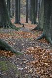 Fallen leaves on hiking trail in beech forest stock photo