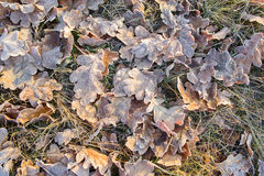 Fallen leaves in hoarfrost on green grass Stock Images