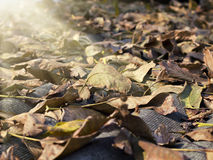 Fallen leaves illuminated by the sun close up Royalty Free Stock Photos