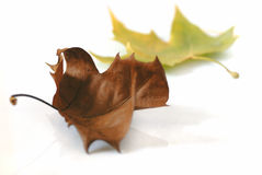 Fallen leaves isolated white. Leaves isolated on white background, one brown and one yellow green Stock Image