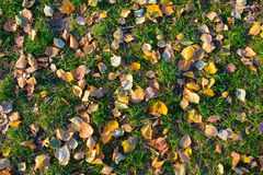 Fallen leaves lie on the green grass in autumn Stock Image