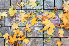 Fallen leaves lie on pavement slab on top of drawing. Beautiful fallen maple molding lying on the pavement slab. On the tiles painted with chalk child drawing Royalty Free Stock Images