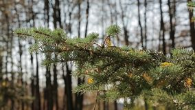 Fallen leaves lie on a spruce paw. Yellow fallen leaves lie on a spruce paw stock footage
