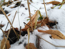 The fallen leaves of the lime trees in the snow Royalty Free Stock Photography