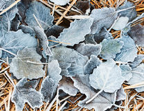 Fallen leaves lying on the grass covered in white frost Royalty Free Stock Image