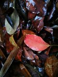 Fallen leaves  lying on wet ground Royalty Free Stock Image