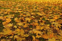 Fallen leaves of maple. Golden autumn Stock Image