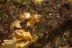 Fallen leaves of maple and hawthorn fruit Stock Images