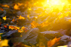 Fallen leaves of a maple Royalty Free Stock Images