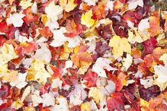 FAllen leaves. Fallen leaves, maple leaves in selection of fall colors, full frame stock photography
