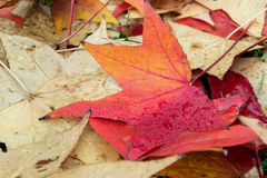 Fallen leaves of a maple Royalty Free Stock Photos
