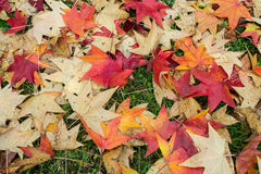 Fallen leaves of a maple. With some water drops Royalty Free Stock Photography
