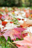 Fallen leaves of a maple. With some water drops Royalty Free Stock Photo
