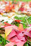 Fallen leaves of a maple Stock Photo